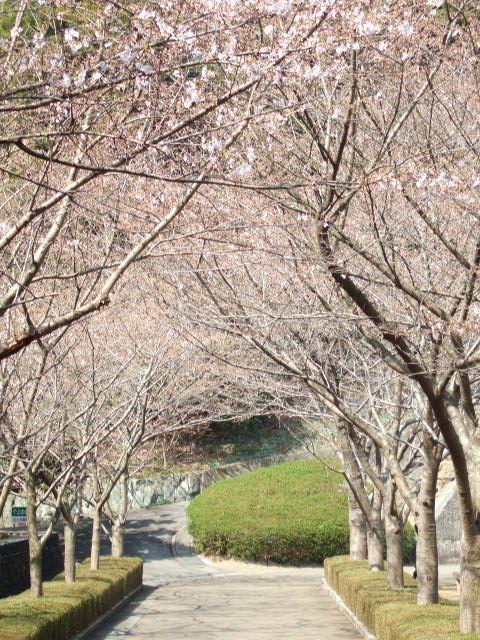文化の森公園 桜並木.JPG