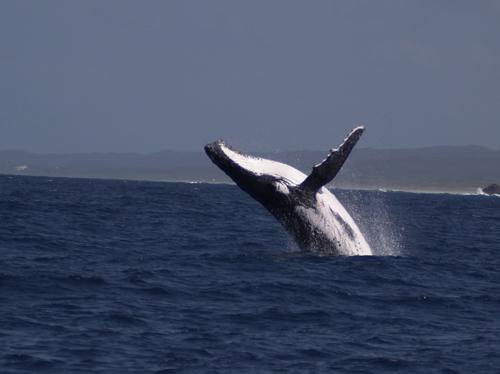 ザトウクジラ.jpg