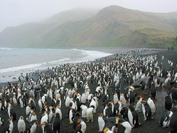 ロイヤルペンギン.jpg