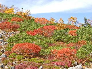 紅葉とハイマツ.jpg