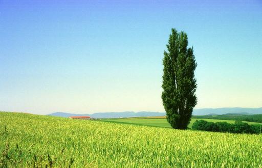 麦畑とポプラ.jpg
