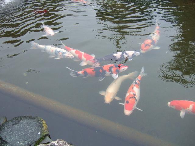 霊山寺 池の鯉.JPG