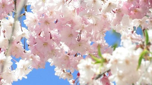 しだれ桜 姫路城 好古園 兵庫.jpg