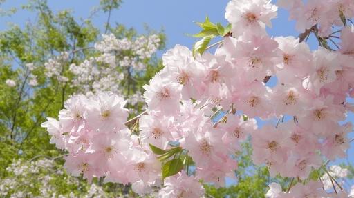 しだれ桜 姫路城公園 兵庫.jpg