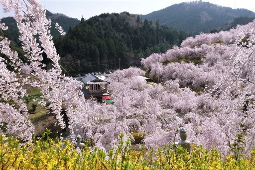 しだれ桜とレンギョウ ゆうかの里 鬼籠野(おろの)神山町 2018-3-29.JPG