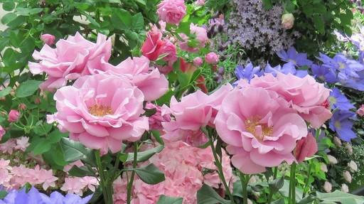 バラ ムーンシャドウ 奇跡の星の植物館 兵庫.jpg