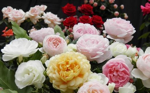 バラ 咲くやこの花館 大阪.jpg