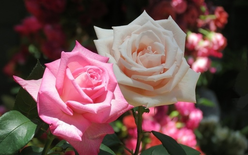 バラ 咲くやこの花館 鶴見緑地 大阪.jpg