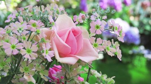 バラと桜草 奇跡の星の植物館 淡路 兵庫.jpg