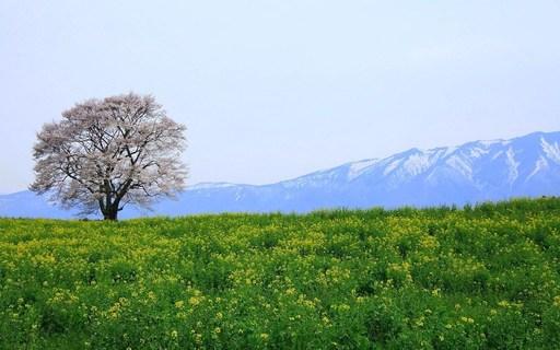 一本桜 雫石 岩手 (1).jpg