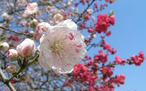 冬景色 桃の花 大仙公園日本庭園 堺市 大阪.jpg