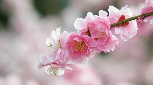 枝垂れ梅の花 和泉リサイクル環境公園 和泉市 大阪.jpg