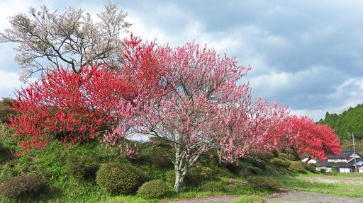 桜と桃 智頭 鳥取.jpg