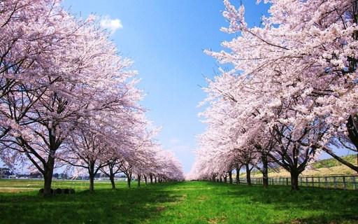 桜並木 奥州 岩手.jpg