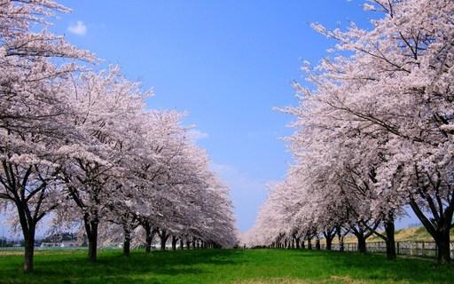 桜並木 岩手.jpg