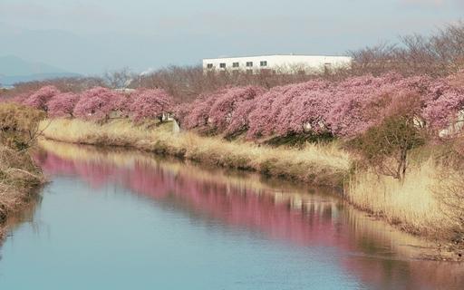 河津桜 富士市 静岡.jpg