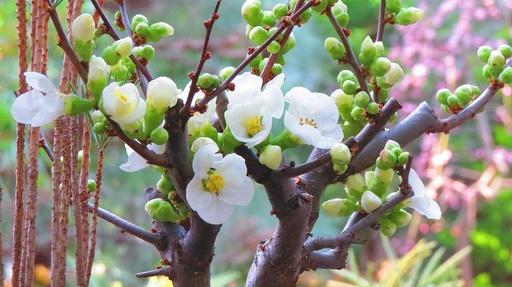 白い木瓜の花 奇跡の星の植物館 淡路 兵庫.jpg