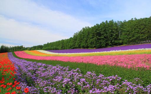 紅色の丘 ファーム富田 富良野 北海道.jpg