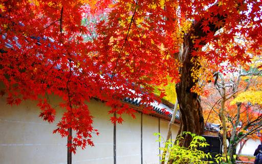 紅葉 二尊院 嵯峨野 京都.jpg