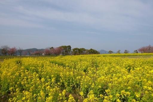 菜の花と桜 鳴門ウチノ海総合公園.JPG