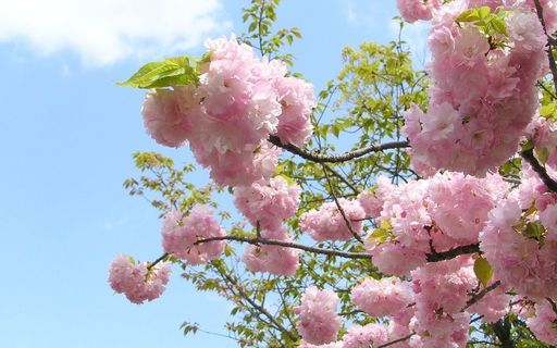 造幣局桜 紅手毬(べにてまり) 大阪.jpg