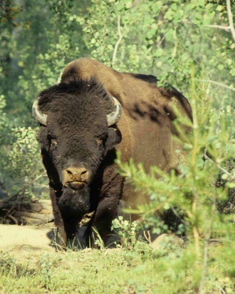 Wood Bison.jpg